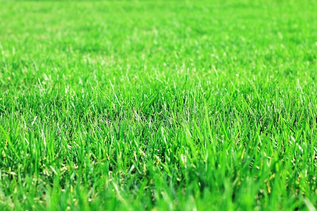 Hierba de césped esquilada, hierba de césped exuberante, textura de hierba.