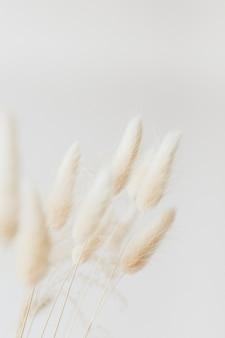 Hierba de cola de conejo seca sobre un fondo claro