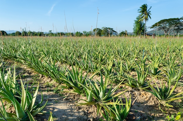 Hierba en el cultivo de campo de plantación de planta de aloe vera, granja y agricultura en tailandia