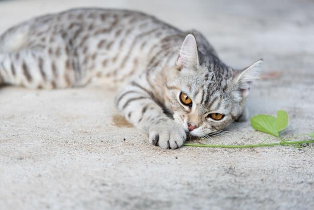 La hierba de la hierba gatera para gatos tiene un aroma parecido a la feromona