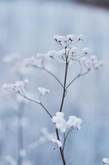 La hierba en la nieve en un campo contra el sol poniente. suave puesta de sol en invierno