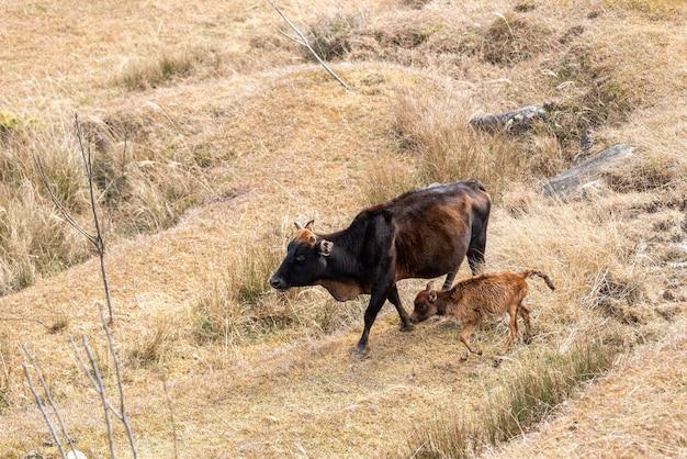 La hierba de la pradera es amarilla y una manada de ganado está comiendo hierba.