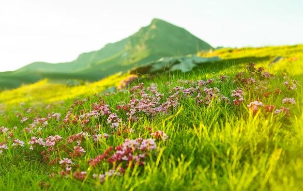 Hierba en el prado alpino