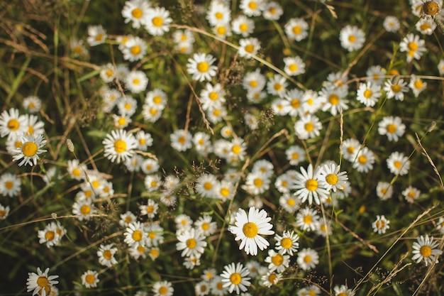 La hierba saludable chamomil está creciendo en el campo de verano, verano o srping,