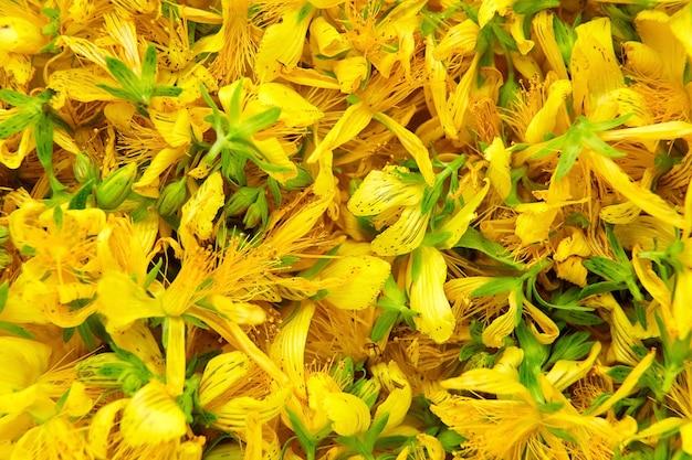 Hierba de san juan (hypericum perforatum), planta con flores amarillas, curándola