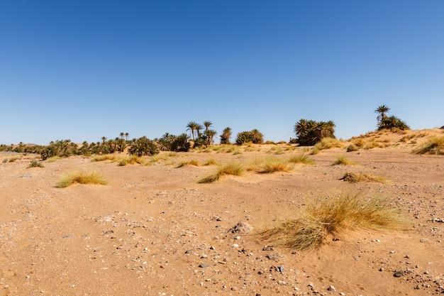Hierba seca y un oasis con palmeras en la distancia, desierto del sahara, marruecos