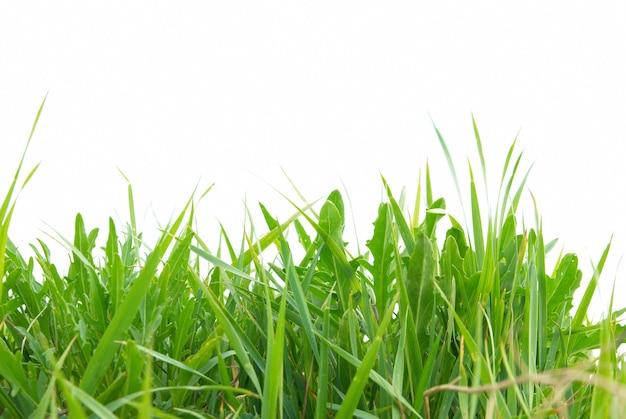 Hierba verde aislado sobre fondo blanco.