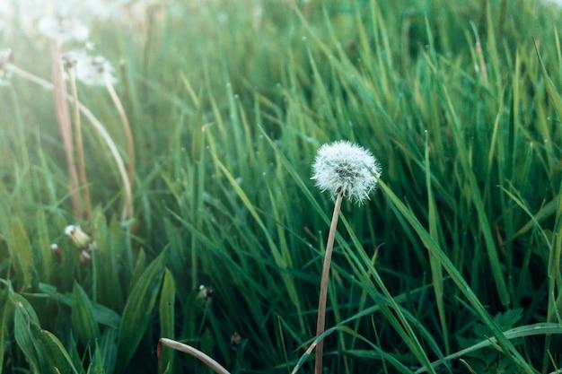Hierba verde fresca y diente de león blanco