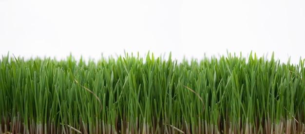 Hierba verde fresca sobre fondo blanco, espacio de copia.