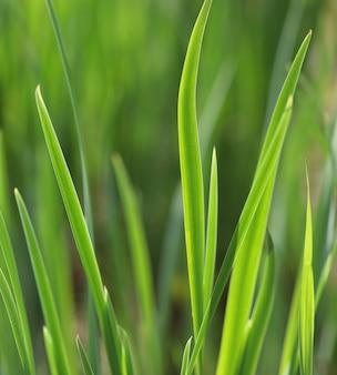 Hierba verde con gota de agua en sol