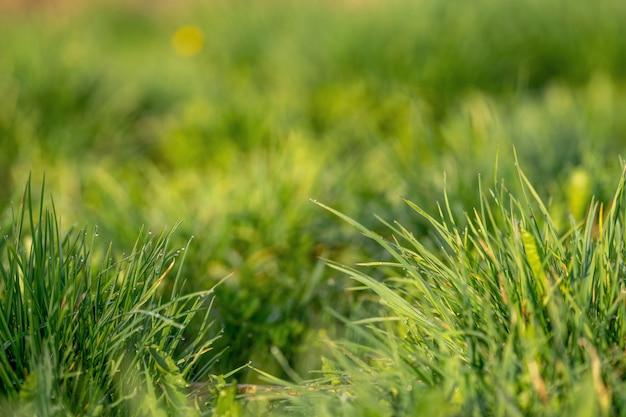 Hierba verde y gotas de rocío de la mañana. la hierba verde fresca con rocío cae el primer.