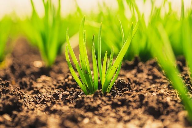 Hierba verde en el jardín. brotes de cebolla en el jardín.
