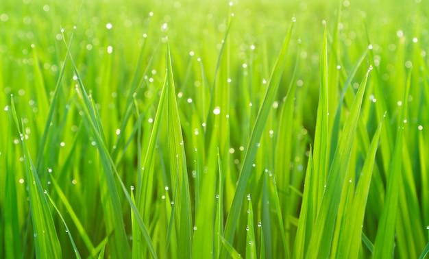 Hierba verde con rocío