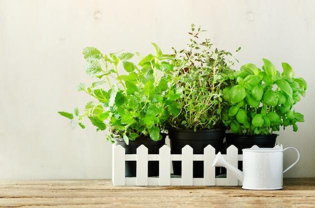 Hierbas aromáticas frescas verdes - melisa, menta, tomillo, albahaca, perejil en macetas, regadera. especias aromáticas, hierbas, plantas, marco.