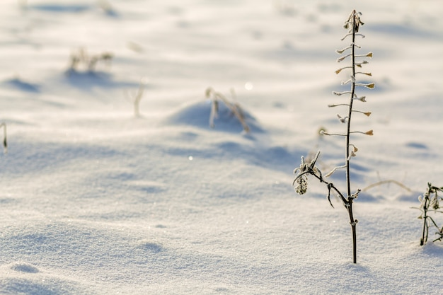 Hierbas marchitas secas plantas malezas cubiertas de nieve