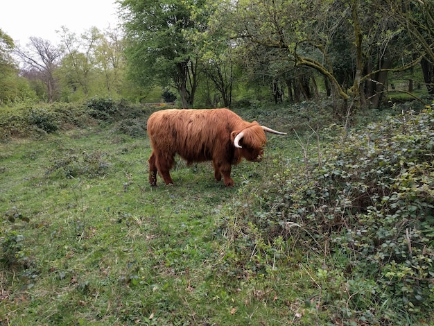Highland cow en yorkshire