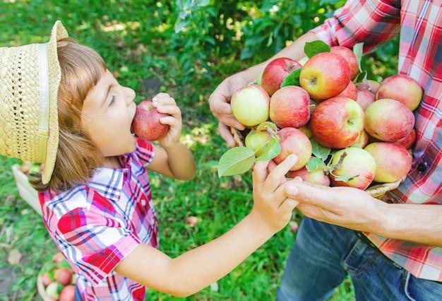 Hija y padre recogen manzanas en el jardín.