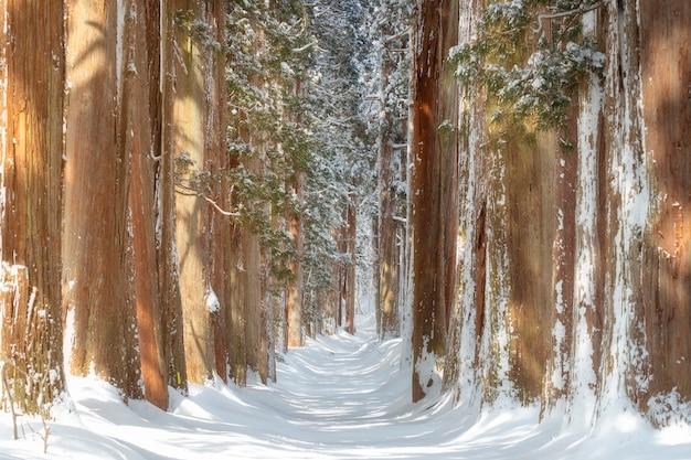 Una hilera de árboles de cedro en el santuario togakushi en invierno en nagano, japón