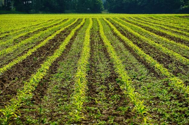 Hileras de cultivos agrícolas en el campo.