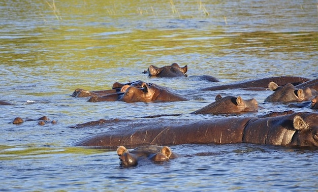 Hipopótamo hipopótamo río chobe agua botswana