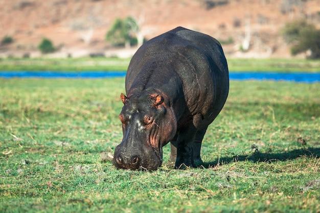 Hipopótamo pastando en la orilla del río