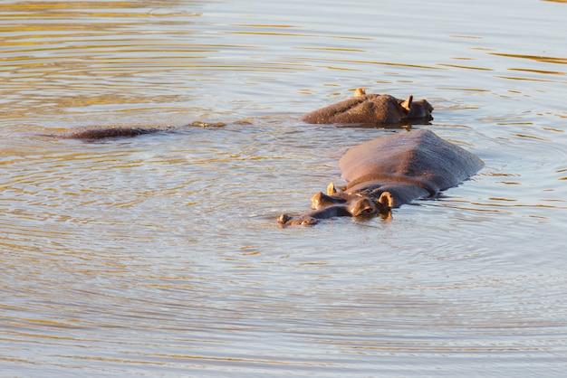 Hipopótamos en el agua, parque nacional kruger