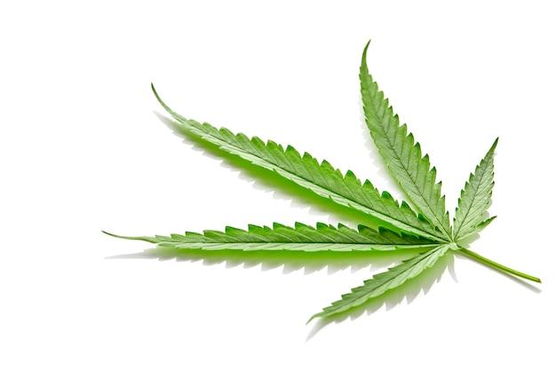 Hoja de abanico de cannabis en blanco