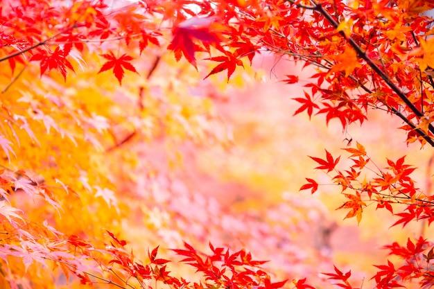 Hoja de arce de japón en la temporada de otoño para el fondo de la naturaleza