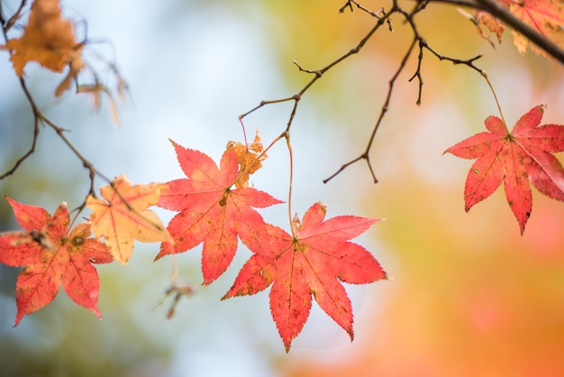 Hoja de arce roja en el árbol en el follaje de otoño