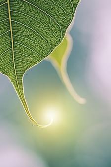 Hoja de bo verde con luz solar en la mañana.