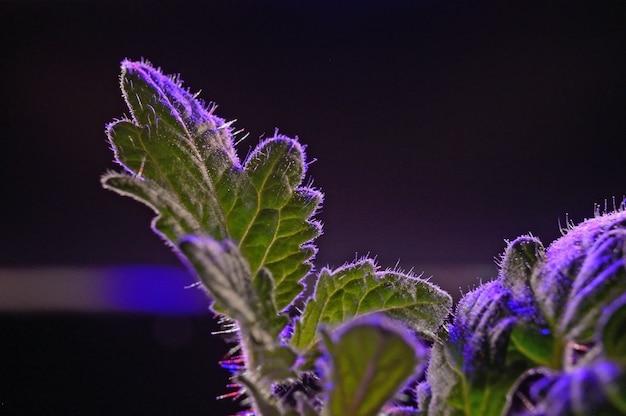 Una hoja de un brote en una maceta a la luz de un phytolamp. de cerca.
