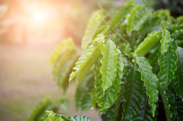 Hoja de café robusta con gota de rocío en el jardín de café