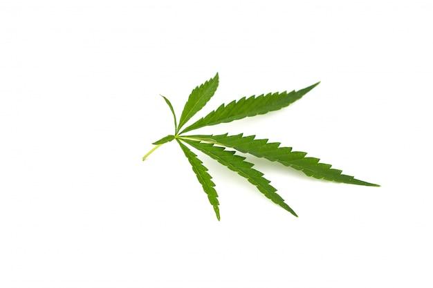 Hoja de cannabis sobre un fondo blanco.