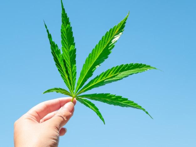 Hoja de cannabis verde en la mano contra el cielo azul claro.
