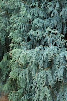 Hoja de fondo juniperus chinensis