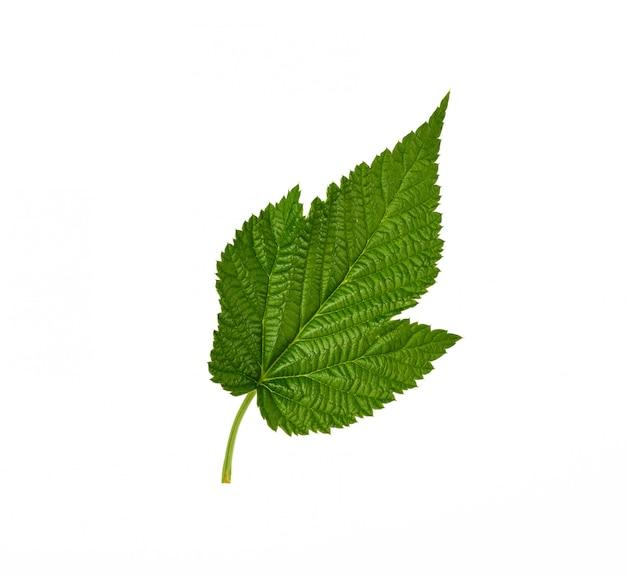 Hoja de frambuesa verde fresca aislada en blanco