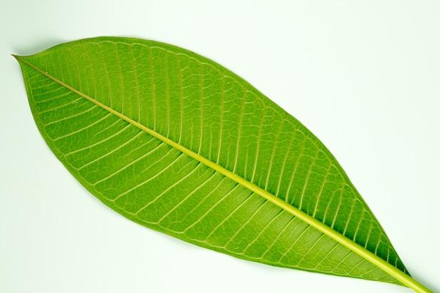 Hoja de frangipani sobre un fondo blanco