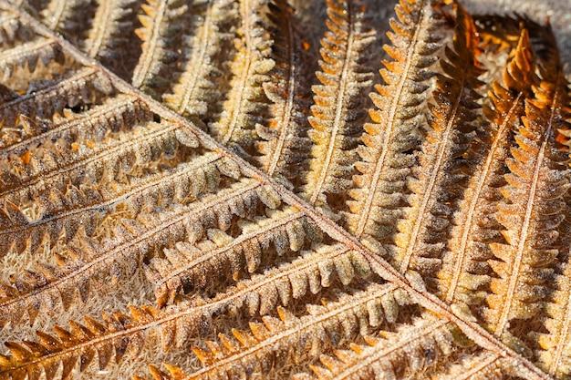 Una hoja de helecho en el bosque está cubierta de escarcha. la primera helada en el otoño. fondo de otoño, enfoque selectivo