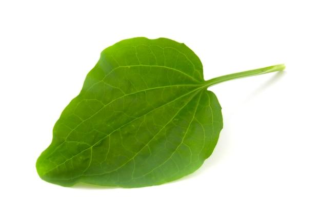 Hoja de llantén, planta medicinal aislada sobre fondo blanco.