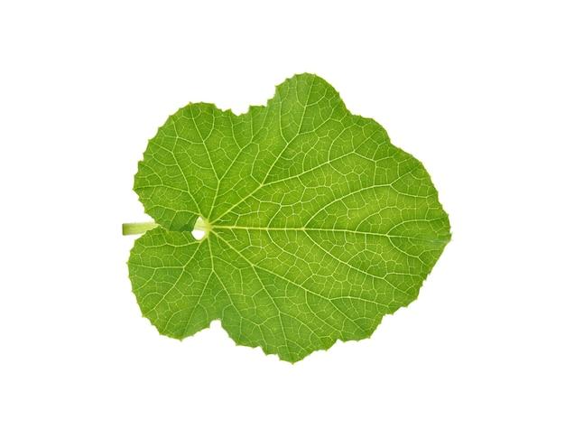 Hoja de melón verde aislado sobre fondo blanco.