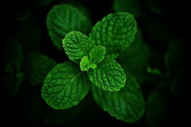 Hoja de menta en el fondo oscuro del jardín - hojas de menta fresca en una naturaleza verde hierbas o vegetales