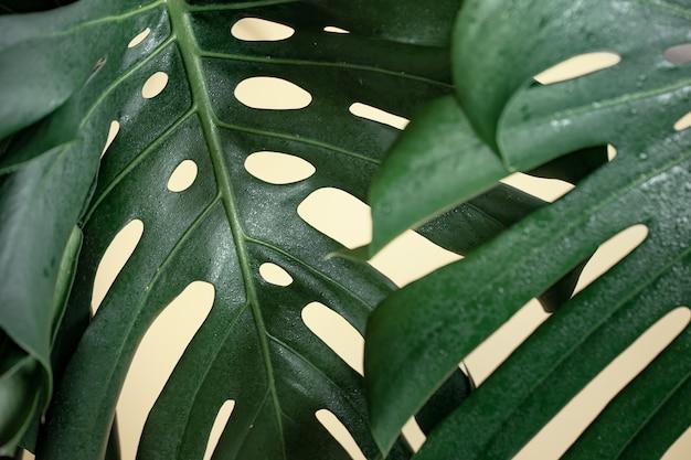 Hoja de monstera tropical natural de cerca.