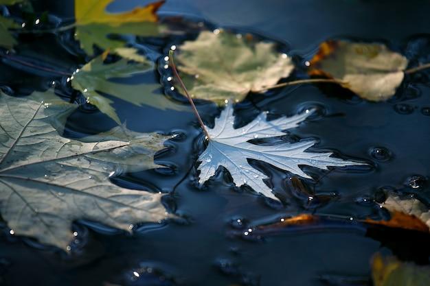 Hoja de otoño yace en un charco