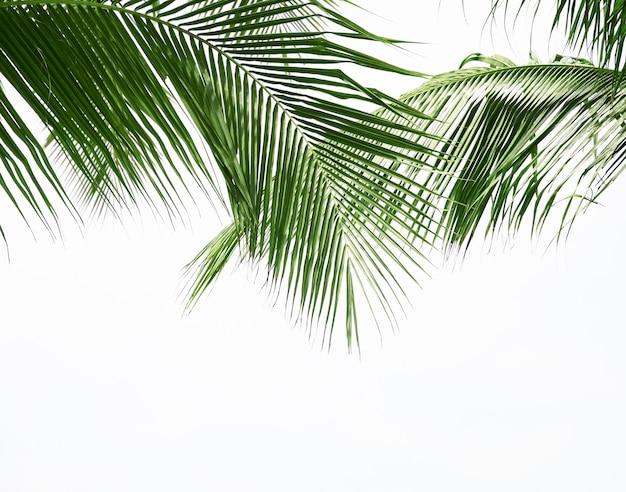 Hoja de palma de coco aislada sobre fondo blanco