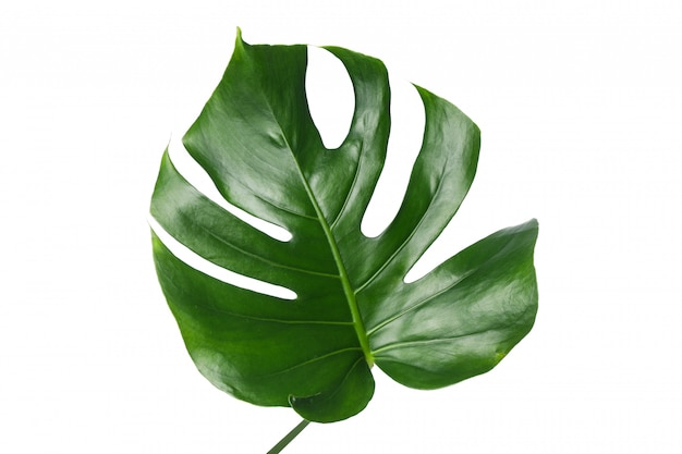 Hoja de palma verde aislada en blanco