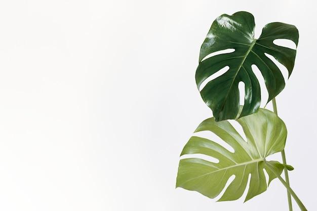 Hoja de la planta monstera delicosa sobre un fondo blanco.