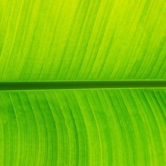 La hoja de plátano verde fresco se puede utilizar para fondos.