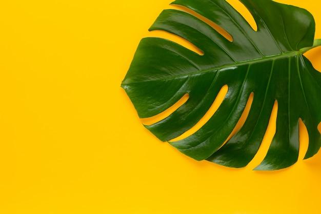 Hoja de la selva tropical, monstera, descansando sobre una superficie plana, sobre fondo amarillo.