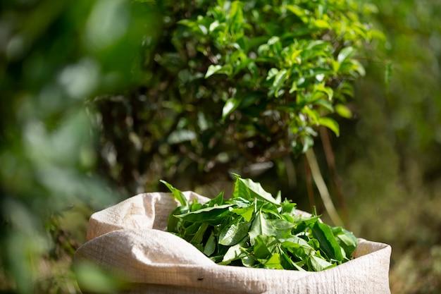 Hoja de té verde después de la cosecha en el saco en las tierras de cultivo.