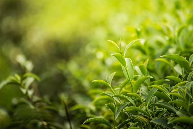 Hoja de té verde en la granja por la mañana.